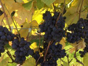 furano-wine