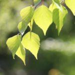 furano-fresh-green