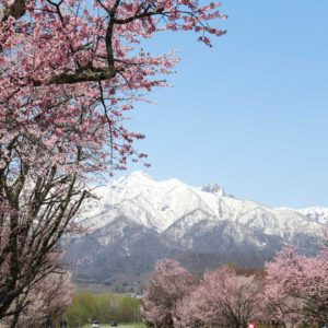fuano-cherry blossoms