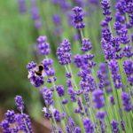 lavender/east