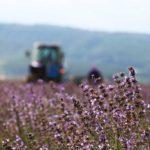 furano/lavender/harvest
