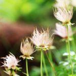 mt.tokachidake/alpine/plant