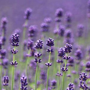 2020.summer.furano-lavender
