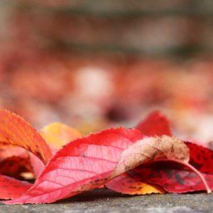 furano-autumn-leaves